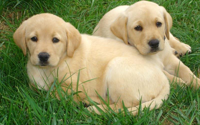 Lebra Dor Puppy Shiv Pet Shop