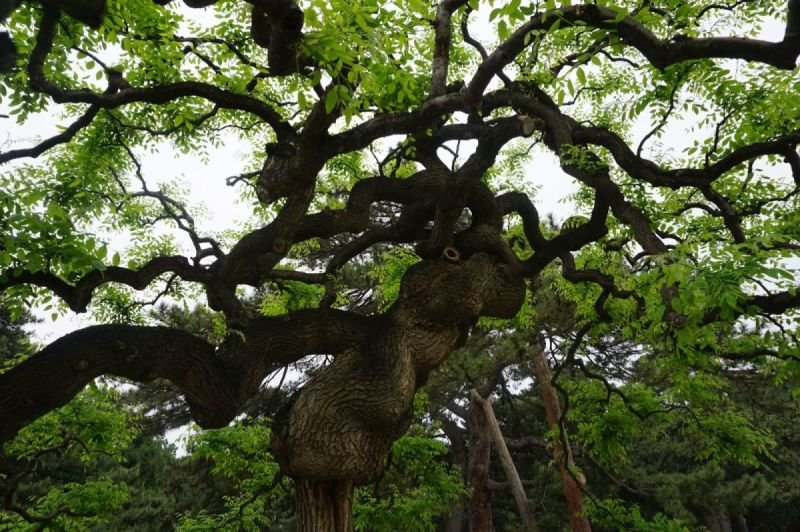 Ancient Chinese tree