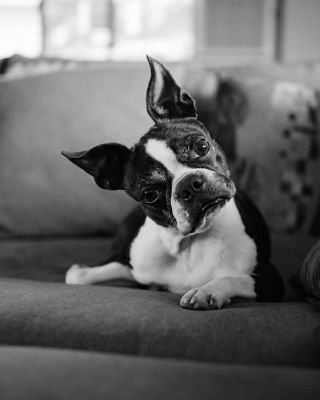 Ideas on Where To Buy A Boston Terrier Puppy
