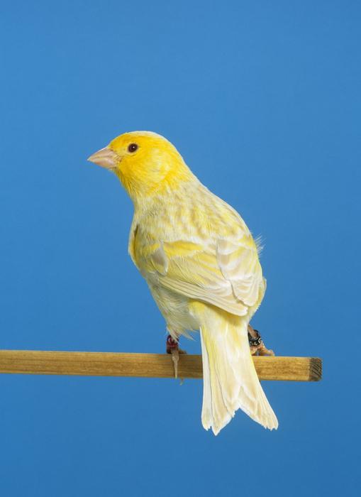 كناري الميلانين الفسيفساء - مرورعلى حياة بعض الطيور